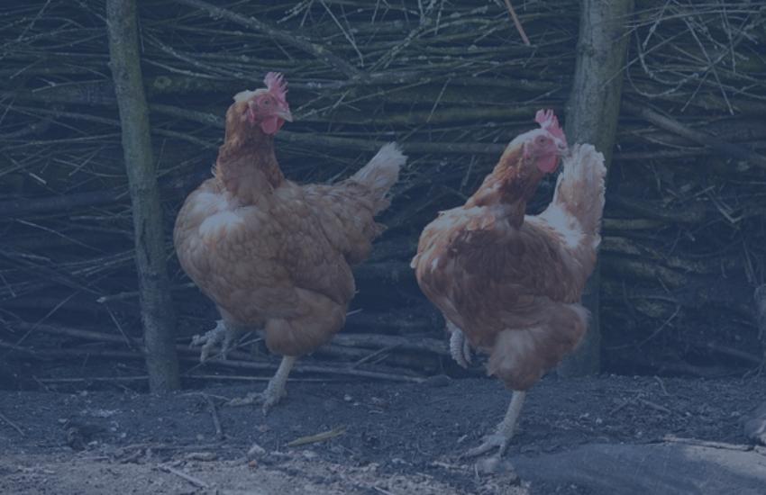 Carne de frango